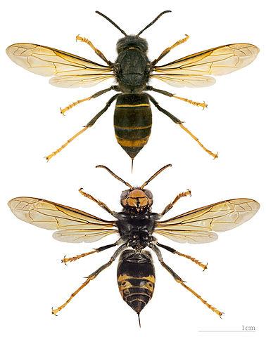vespa velutina nigrithorax mhnt