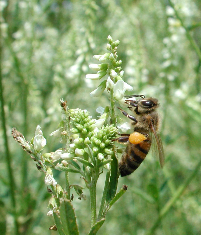 ape polline meliloto